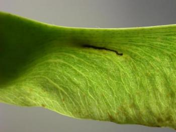 Etainia sericopeza Noorse-esdoornvruchtmineermot
