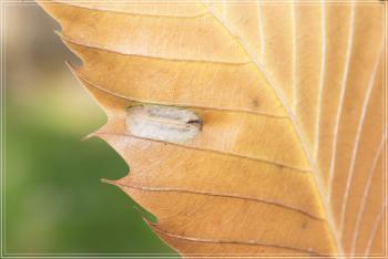 Phyllonorycter messaniella - Veelvraatvouwmot