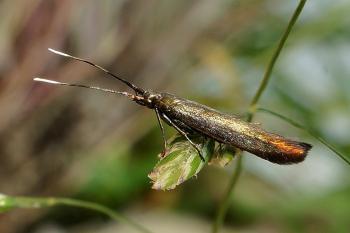 Coleophora alcyonipennella - Metaalkokermot