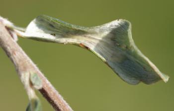 Phyllonorycter quinqueguttella - Kruipwilgvouwmot