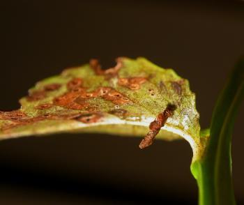 Coleophora idaeella - Vossenbeskokermot