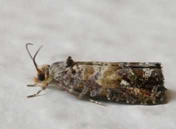 Cymolomia hartigiana - Leemvlekbladroller