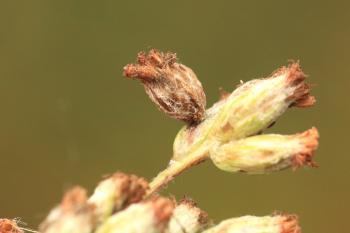 Coleophora artemisicolella - Bijvoetbloemkokermot