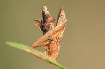 Coleophora trifariella - Bremkokermot