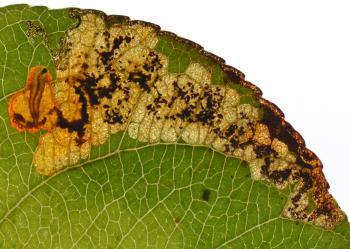 Ectoedemia atricollis - Zwartkopblaasmijnmot