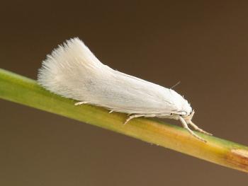 Elachista argentella - Witte grasmineermot