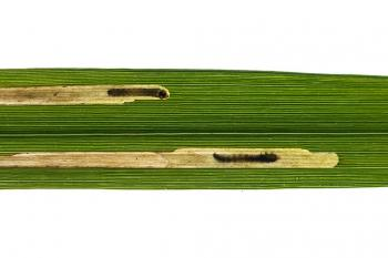 Elachista subalbidella - Pijpenstrootjesmineermot