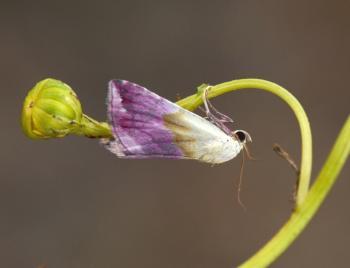 Eublemma purpurina - Dilsen-Stokkem ~ Negenoord-Kerkeweerd (Limburg) 25-07-2020 ©Steve Wullaert
