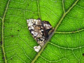 Gypsonoma oppressana op witte abeel. Ooigem - Wielsbeke. 22-09-2011 ©Steve Wullaert