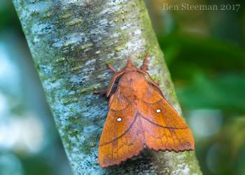 Odonestis pruni - Furfooz ~ Parc national de Furfooz (Namen) 10-06-2017 ©Ben Steeman