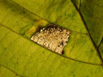 Parornix devoniella - Gewone zebramot