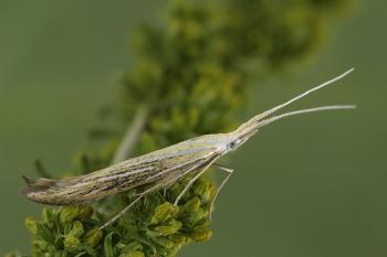 Coleophora ornatipennella - Graskokermot