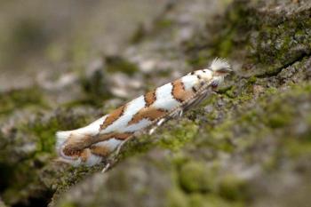 Phyllonorycter kuhlweiniella - Gezaagde eikenvouwmot