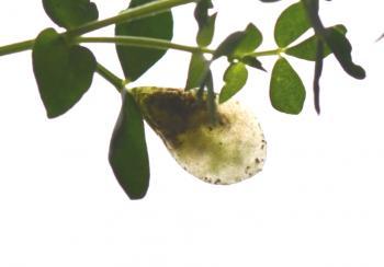 Trifurcula cryptella - Eenvlekrolklavermineermot