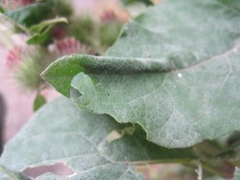 Agonopterix arenella - Bleke kaartmot