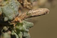 Coleophora atriplicis - Lichtbruine meldekokermot