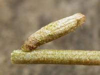 Coleophora salinella - Melkwitte meldekokermot