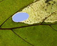 Antispila metallella - Grote kornoeljegaatjesmaker
