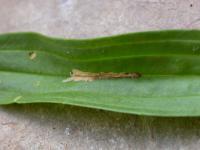 Aspilapteryx tringipennella - Weegbreesteltmot