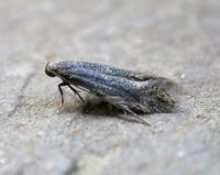 Elachista canapennella - Zilveren grasmineermot