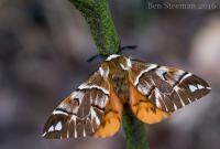 Endromis versicolora - Lanaken ~ De Vallei van de Ziepbeek (Limburg) 18-03-2017 ©Ben Steeman