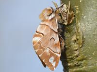 Endromis versicolora - Oignies ~ Bois d'Oignies (natuurpark Viroin - Hermeton) - (Namen) 31-03-2018 ©Steve Wullaert