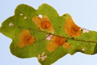 Tischeria dodonaea - Bruine eikenvlekmot