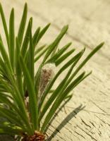 Spilonota laricana - Bonte larixbladroller