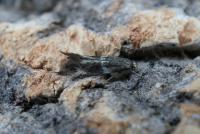 Elachista albifrontella - Witkopgrasmineermot