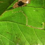 Stigmella microtheriella Slanke mineermot