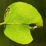 Stigmella pyri - Perenbladmineermot