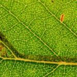 Stigmella continuella - Groene berkenmineermot