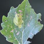 Phyllonorycter comparella - Abeelvouwmot