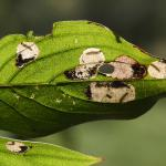 Antispila treitschkiella - Kleine kornoeljegaatjesmaker