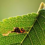 Bucculatrix albedinella - Witte iepenooglapmot