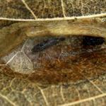 Phyllonorycter roboris - Bonte eikenvouwmot