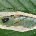 Phyllonorycter esperella - Haagbeukblaasmijnmot