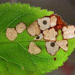 Coleophora violacea - Witsprietkokermot