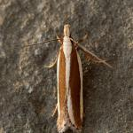 Dichomeris marginella - Jeneverbesmot