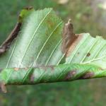 Caloptilia elongella - Bruine elzensteltmot