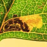 Stigmella perpygmaeella - Meidoornhoekmineermot