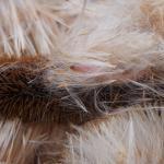 Limnaecia phragmitella - Lisdoddeveertje