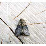 Abrostola asclepiadis - Furfooz ~ Parc national de Furfooz (Namen) 10-06-2017 ©Dries De Vreeze