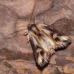 Actinotia polyodon - Rocherath ~ Vallée de la Holzwarche (Luik) 08-08-2019 ©Damien Gailly