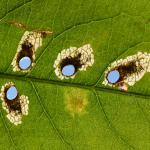 Antispilina ludwigi op Persicaria bistorta - Rocherath ~ Naturschutzgebiet der Holzwarche (Luik) 23-06-2017 ©Steve Wullaert