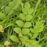 Astragalus glycophyllos (hokjespeul) - KU Leuven Plantengids ©Paul Busselen
