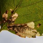 Atemelia torquatella - Beauraing ~ Grand Quarti (Namen) 15-09-2018 ©Steve Wullaert
