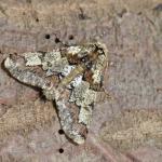 Biston strataria - Oignies ~ Bois d'Oignies (natuurpark Viroin - Hermeton) - (Namen) 31-03-2018 ©Steve Wullaert