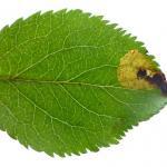 Bohemannia pulverosella - Vroege appeldwergmot