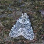 Bryophila domestica - Rocherath ~ Vallée de la Holzwarche (Luik) 18-07-2021 ©Johan Verstraeten